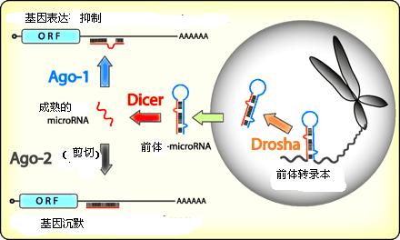 小分子 microRNA 及其生物学特征