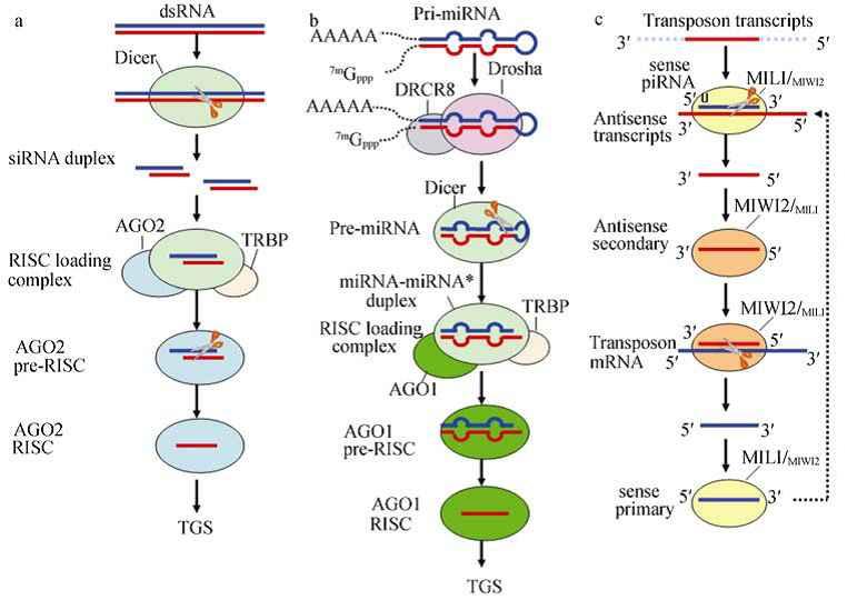 生物细胞非编码 RNA 的调控