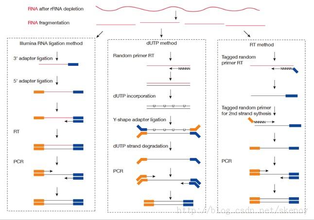 链特异性转录组原理