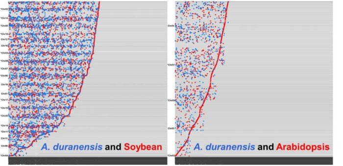 PNAS:花生A基因组测序成果揭示其地下繁殖、产油代谢等独特性状的遗传机制