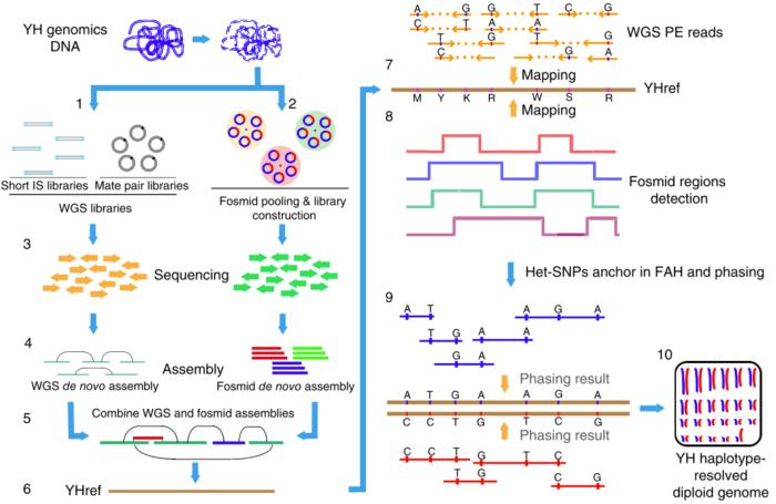 人类基因组的Phasing原理是什么?