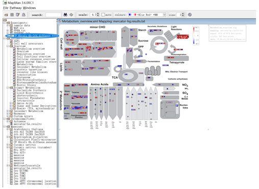 基因富集通路图展示神器-Mapman的使用